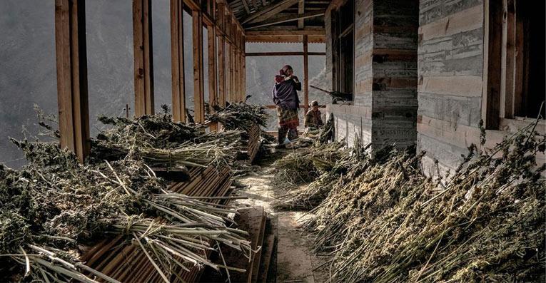 cultivo cannabis en la meseta del Tibet