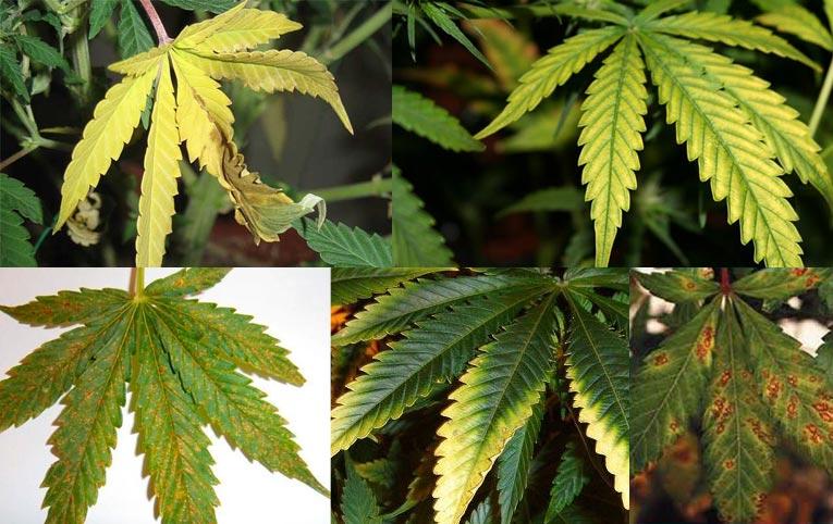 Carencias y excesos de nutrientes en el cannabis
