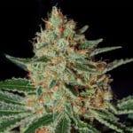 Txerri Bilbo Haze - Semilla de cannabis feminizada