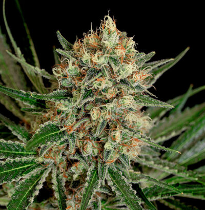 Txerri Bilbo Haze - Semilla de marihuana feminizada
