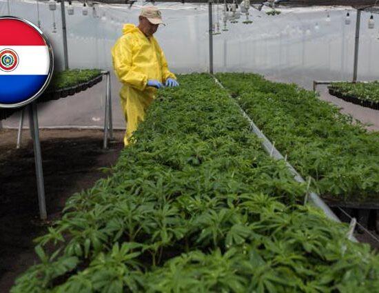Paraguay otorga licencias para la produccion de cannabis medicinal
