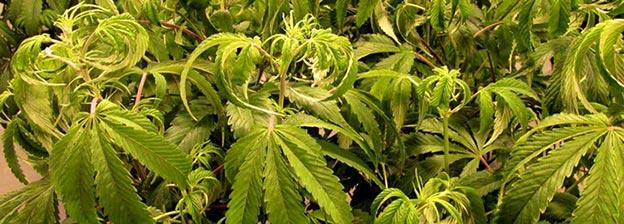 Exceso de riego en el cannabis