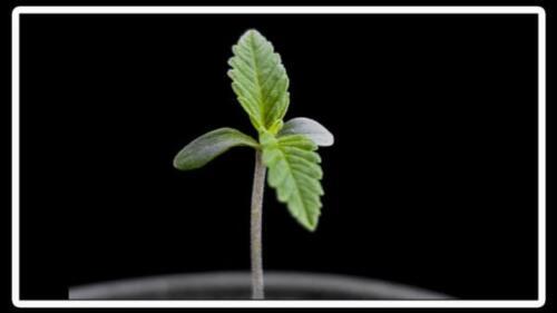 Cultivo del cannabis