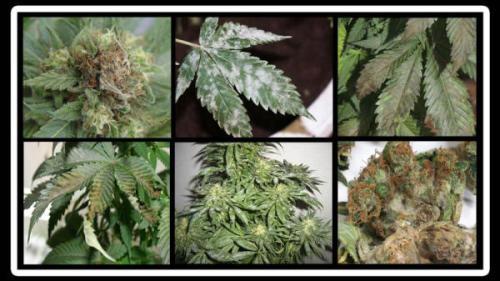 Hongos del Cannabis